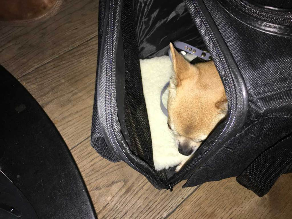 Chilli Chihuahua in his bag