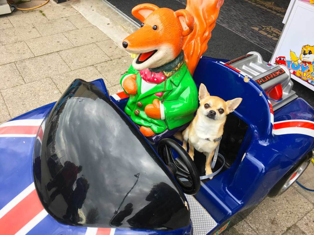 Chilli Chihuahua meets Basil Brush the famous fox