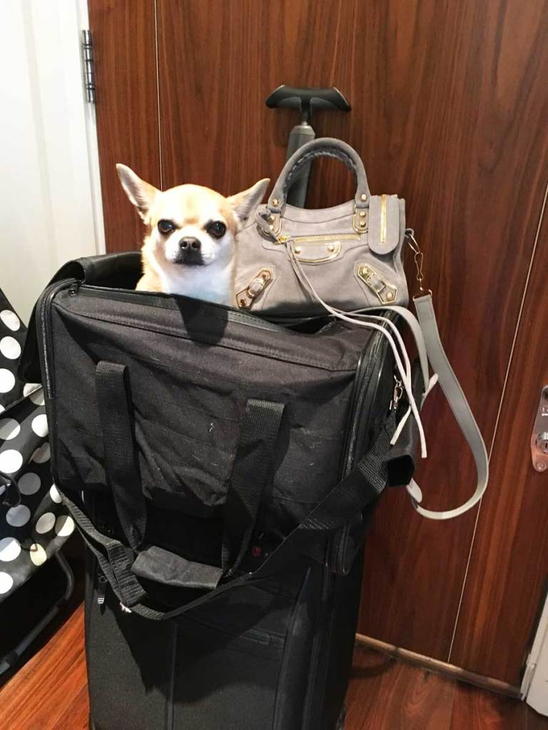 Chilli Chihuahua in his travel bag