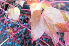 Nahaufnahme, Trauben und Blatt eines wilden Weins,