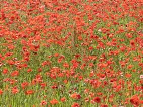 lots-of-poppies.jpg