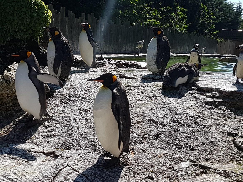 King Penguins at Birdland, Bourton-on-the-Water, UK