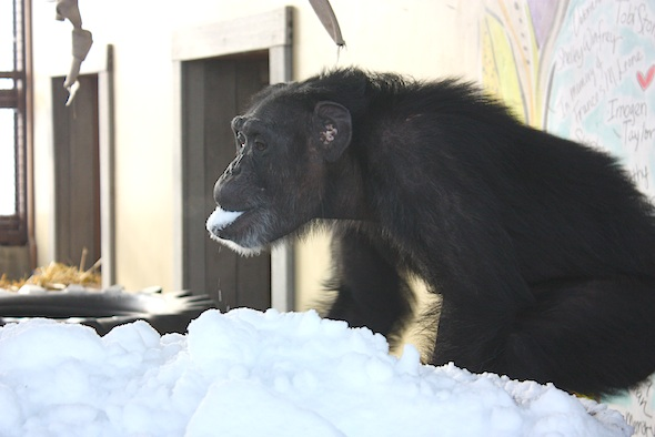 Foxie eating snow from tub 2