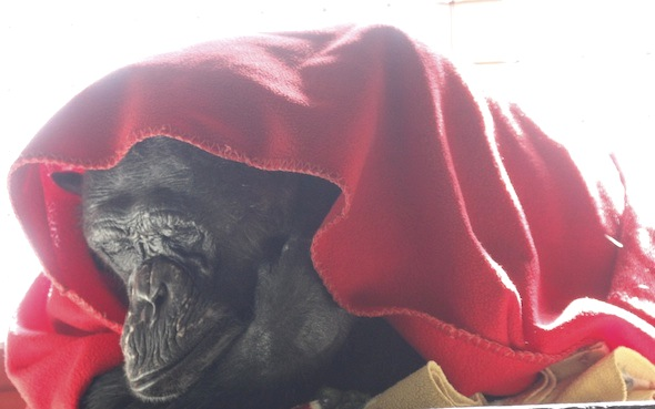 negra under red blanket close up 2
