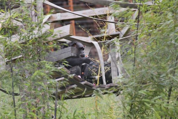 web Negra eat carrot on shakey bridge black bamboo YH IMG_8367