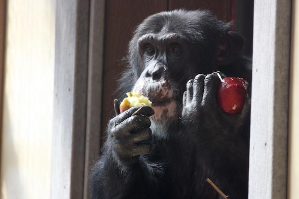 web_burrito_eat_whole_frozen_fruit_forage_enrichment_birthday_food_GH_IMG_9510