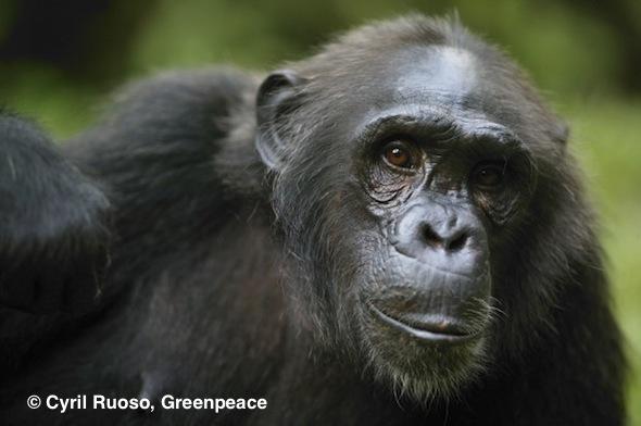 Chimpanzee, Nigeria