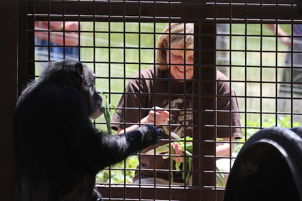 Caregiver Connie serving chimpanzees lunch