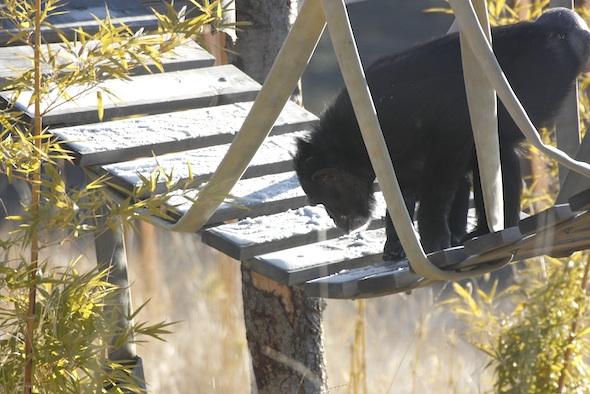 jamie chimpanzee thinking about eating snow