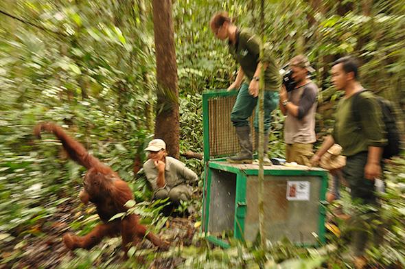 OrangutanOutreach-BOS-Releases