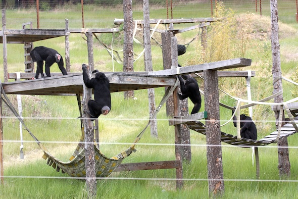 chimps on platforms