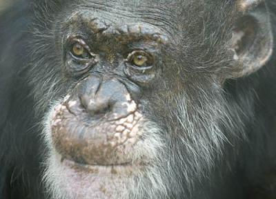 bill the chimp