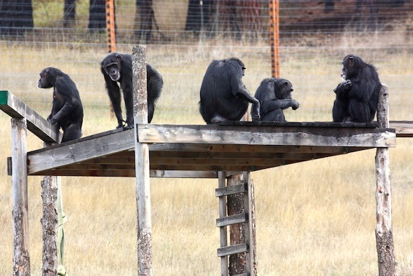 bunch of chimps on a structure