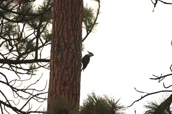 web_Pileated_Woodpecker_female_Wanda_on_pine_trees_east_YH_kh_IMG_7039