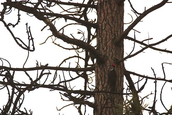 web_Pileated_Woodpecker_on_pine_tree_east_woodpecker_YH_kh_IMG_7066