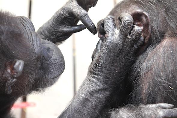 Annie grooming Missy's eye close-up
