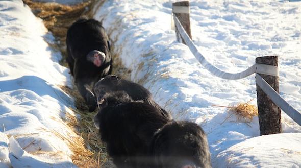 web_Line_of_chimpanzees_yh_AW_IMG_8357