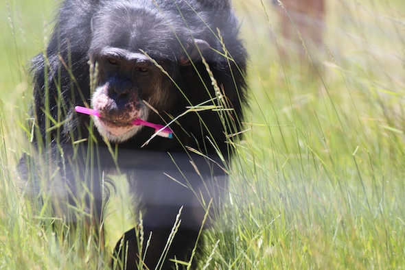 web_Burrito_toothbrush_in_mouth_green_grass_YH_kh_IMG_4258