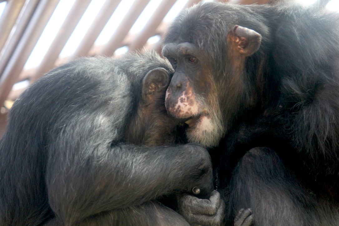 Missy and Burrito chimpanzees playing