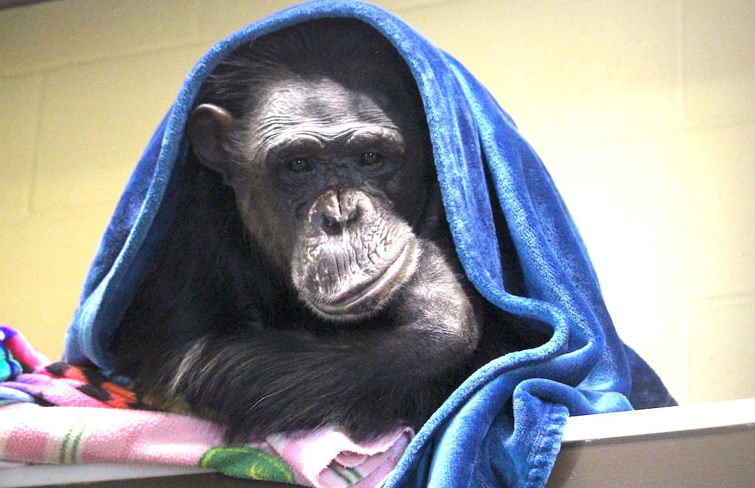 Negra under blanket