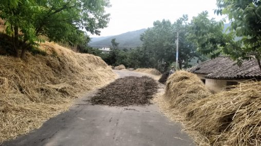 Crops are dried on the road