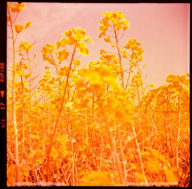 Luoping golden fields