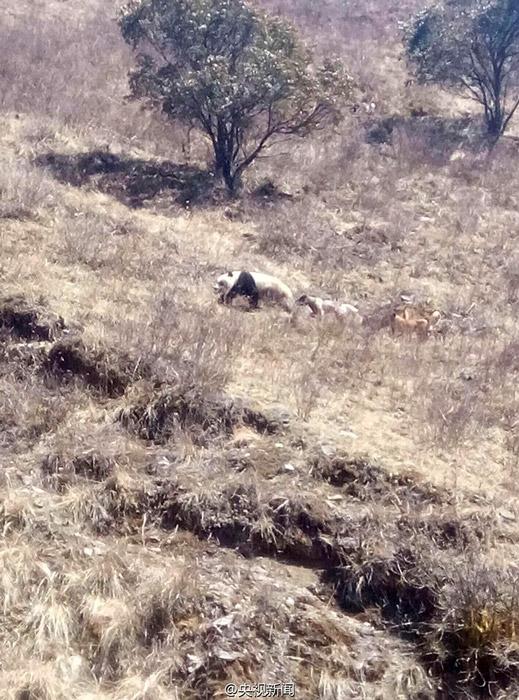 giant_panda_002---Rescuing panda