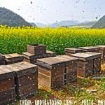 honeybees luoping yunnan china