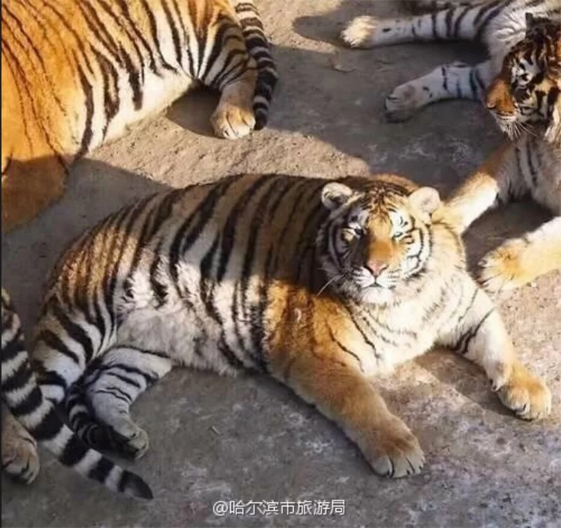 obese siberian tigers