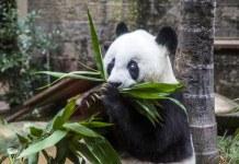 oldest-panda
