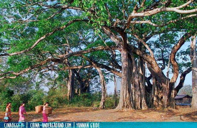 king-banyan-yunnan