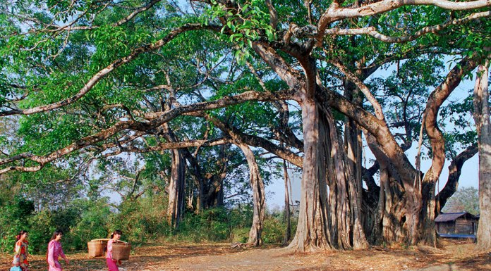 king-banyan-yunnan-A giant Banyan tree in Yunnan province, southern China
