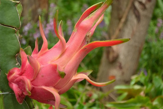 dragonfruit-images