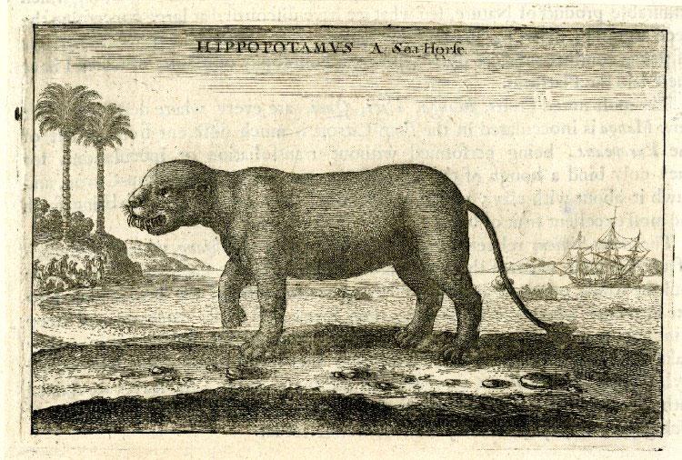 Hippopotamus walking