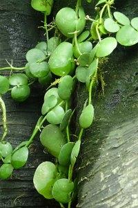 Dischidia 眼 树 莲 属