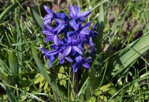 Hyacinthus 风信子 属