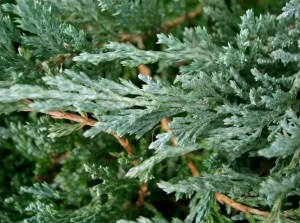 Juniperus Chinensis 桧柏