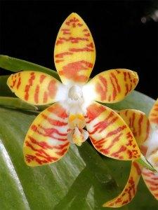 Orchid Phalaenopsis 蝴蝶 蘭 屬