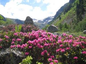 Rhododendron 杜鵑 花 屬