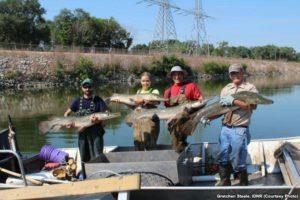 美国人为对付亚洲鲤鱼 放出亿年前怪鱼