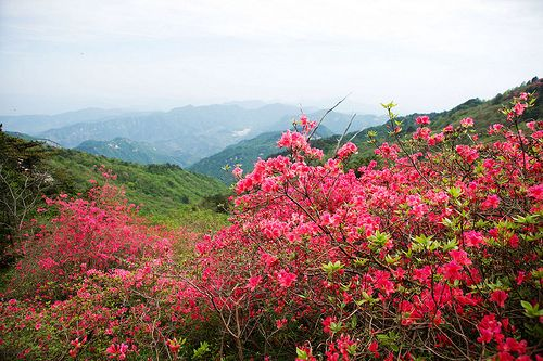 Red Flowers Blooming All Over the Mountain   ChinaBlog cc   Timeless     Red Flowers Blooming All Over the Mountain