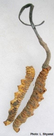 CordycepsSinensis.jpg