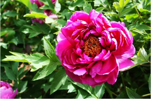 Flowers in Chinese Culture   Flowers Blog     peony  Flowers in China