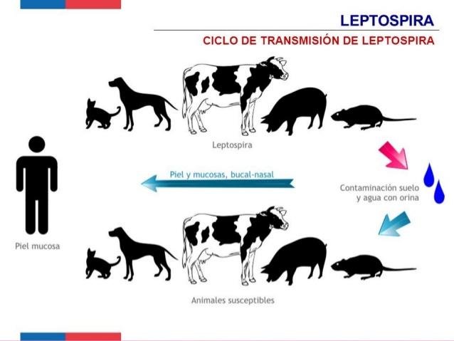Leptospirosis Chinandega