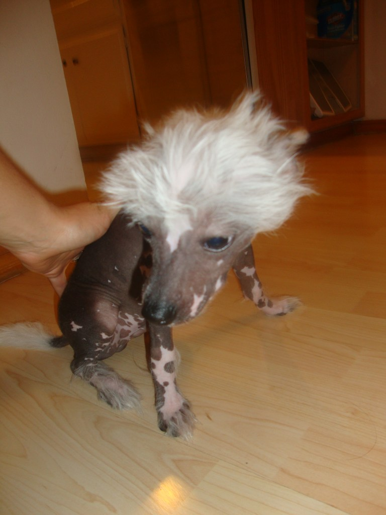 Hairless Chinese Crested Male