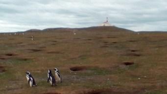 magdelena-island-penguins-walking