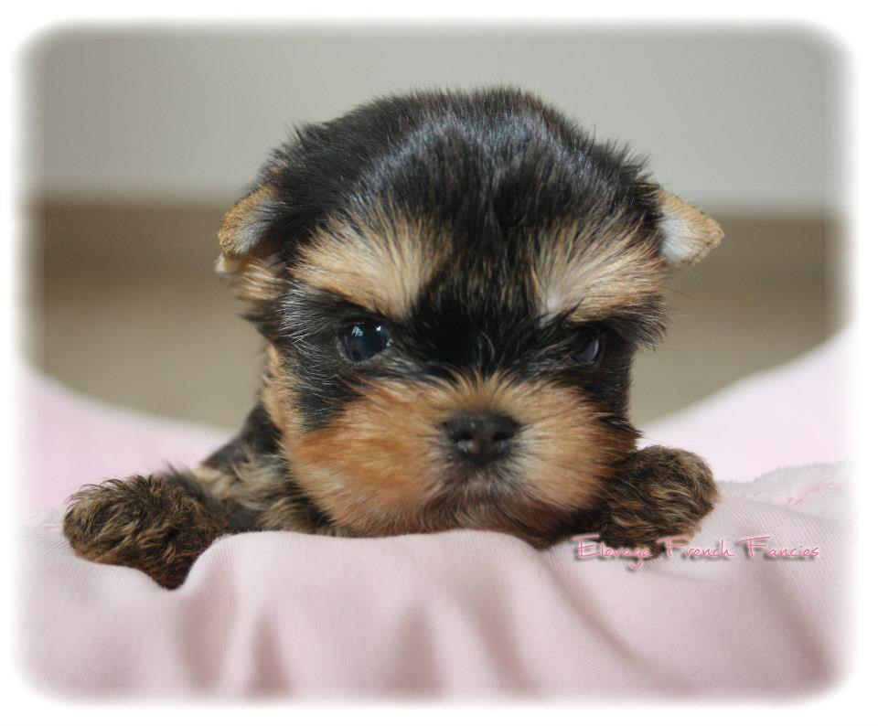 Chiot Yorkshire Nain Et Toy Elevage De Yorkshire Propose Ses Chiots Yorkshire A Vendre French Fancies