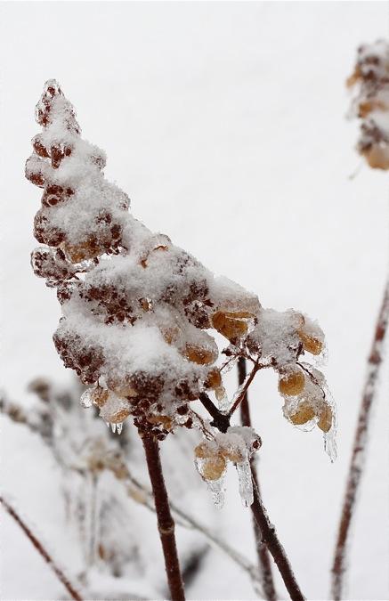 pinky-winky-hydrangea-in-ice