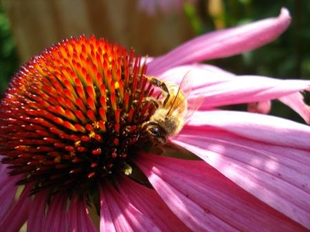 bee-on-echinacea