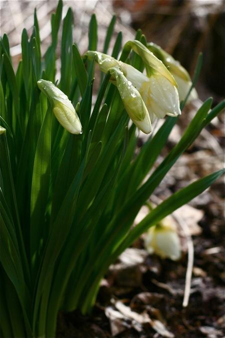 daffodil-buds